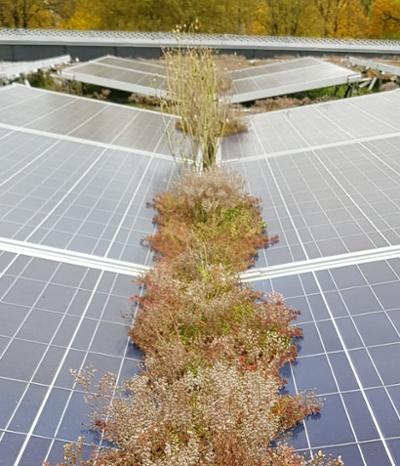Sedum gror på solcellepaneler